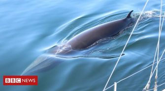 Blue belt zones to protect minke whales