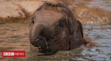 Chester Zoo elephant calf's EEHV survival 'momentous'