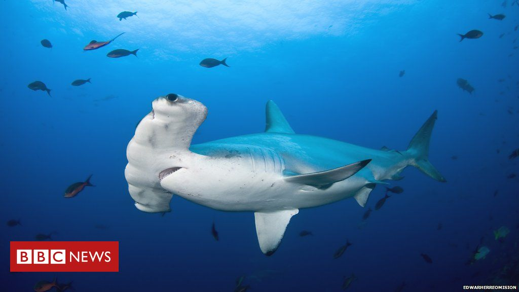 Saving sharks: One woman's mission to protect the hammerhead