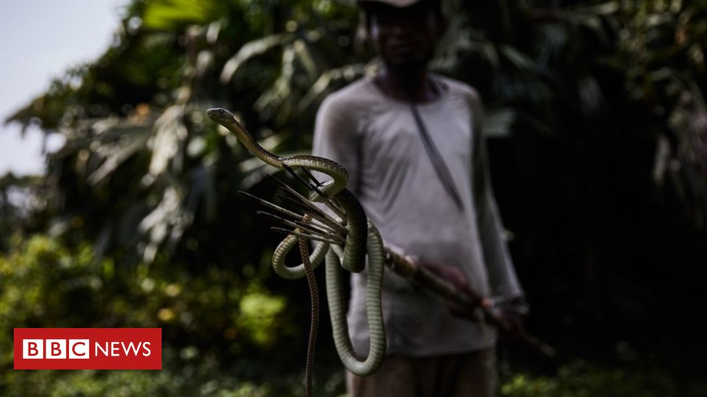 Face to face with DR Congo's deadly vipers