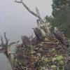 In Captivating Video, A Bald Eagle Attacks An Osprey Nest