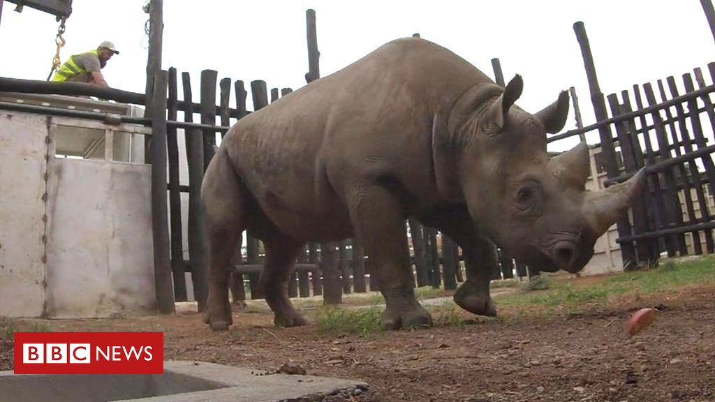 Rhino release: Epic journey to freedom in Rwanda