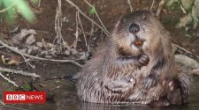 Should beavers be brought back across England?
