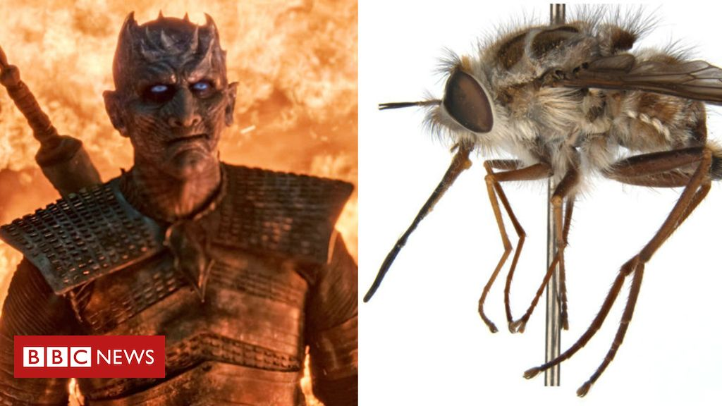Night King: Australia bee fly named after Game of Thrones villain