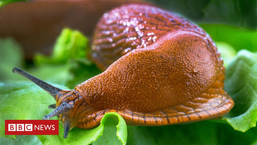 Spanish slugs: Moscow alarm over giant invasive pests