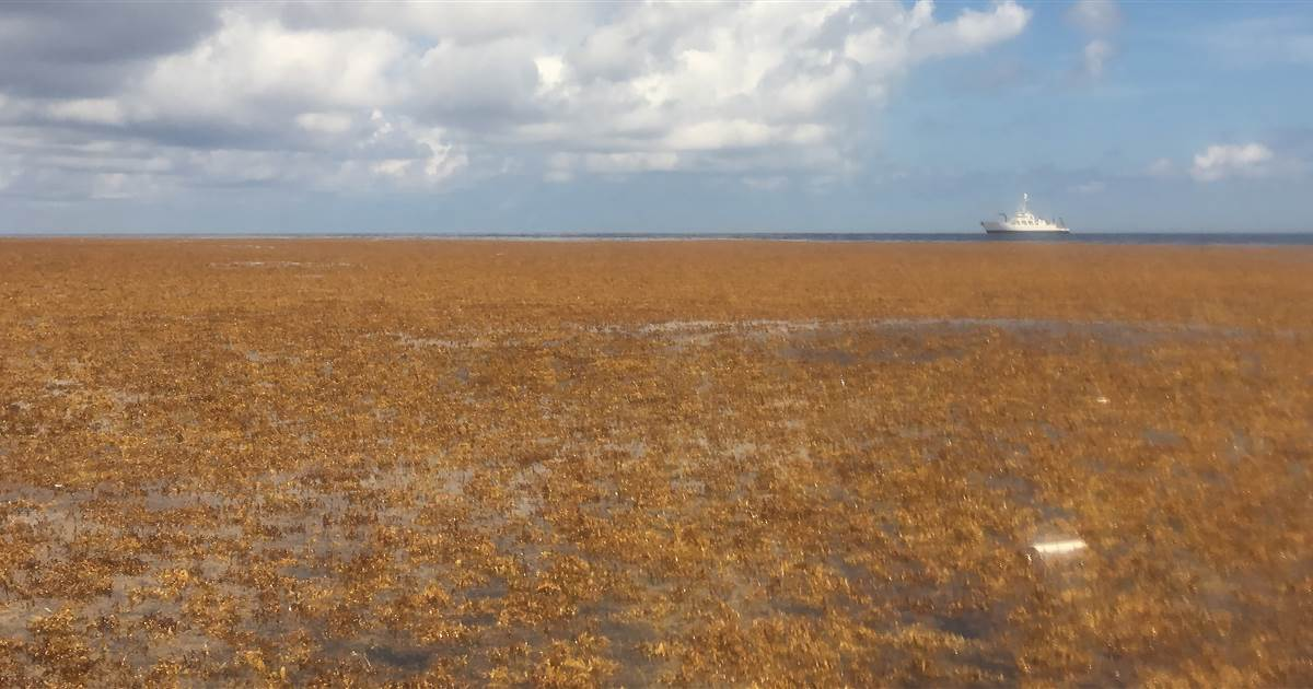 Scientists discover the world's biggest seaweed patch. They say it could be the 'new normal.'