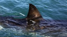 SDSU Researchers Use New Genetic Technology To Save Sharks