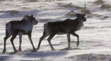 Tradition versus technology: Indigenous Northerners debate use of drones in caribou hunting in N.W.T.
