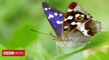 Purple emperor butterfly makes 'official' Norfolk comeback