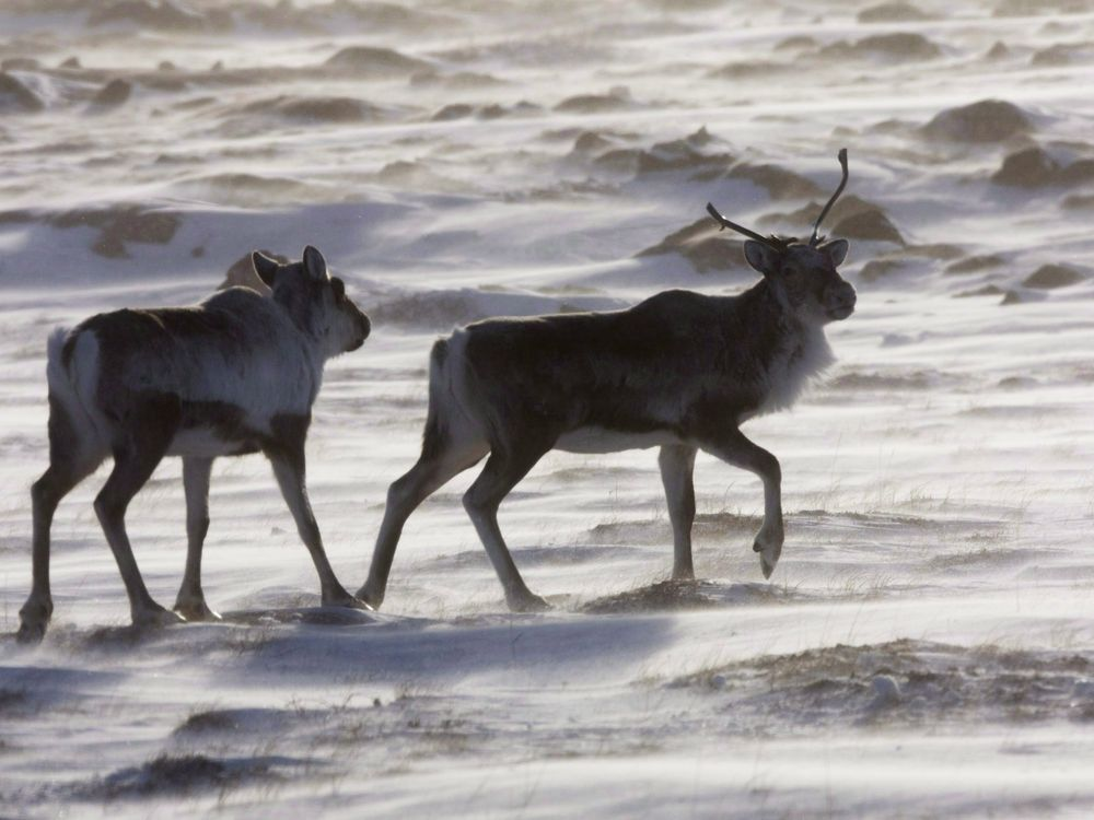 Tradition versus technology: Northerners debate use of drones in caribou hunting