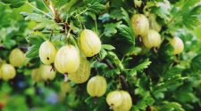 8 Impressive Health Benefits of Gooseberries