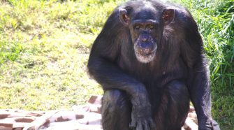 Opinion | The World's Smartest Chimp Has Died