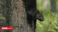 Black squirrels the result of 'interbreeding' grey squirrels, study finds