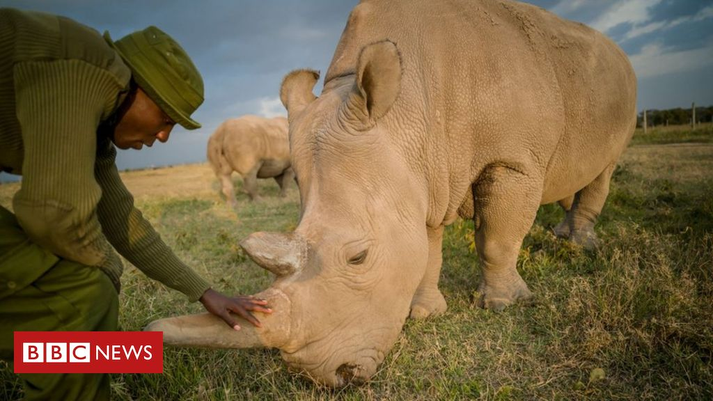Kenya northern white rhinos: Vets harvest eggs from last two females