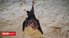 Endangered bats: The manicure helping to save a species