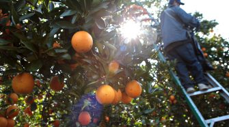 New technology could fight effects of citrus greening in OJ - News - News Chief