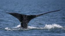 Two percent of the world's North Atlantic right whales have died in the last two months