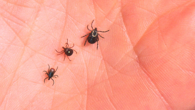 FILE PHOTO: A virus carried by a deer tick (left) was the cause of death for a New York man.