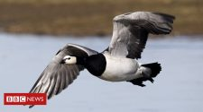 Wild geese change routes to cope with climate change