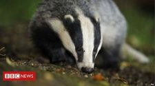 Vet says badger culls caused 'immense pain'