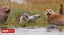 Thames Estuary seals double in number