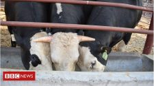 Genome-edited bull passes hornless gene to calves