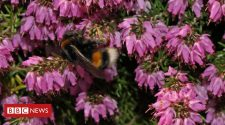 Natural 'bumblebee medicine' found in heather