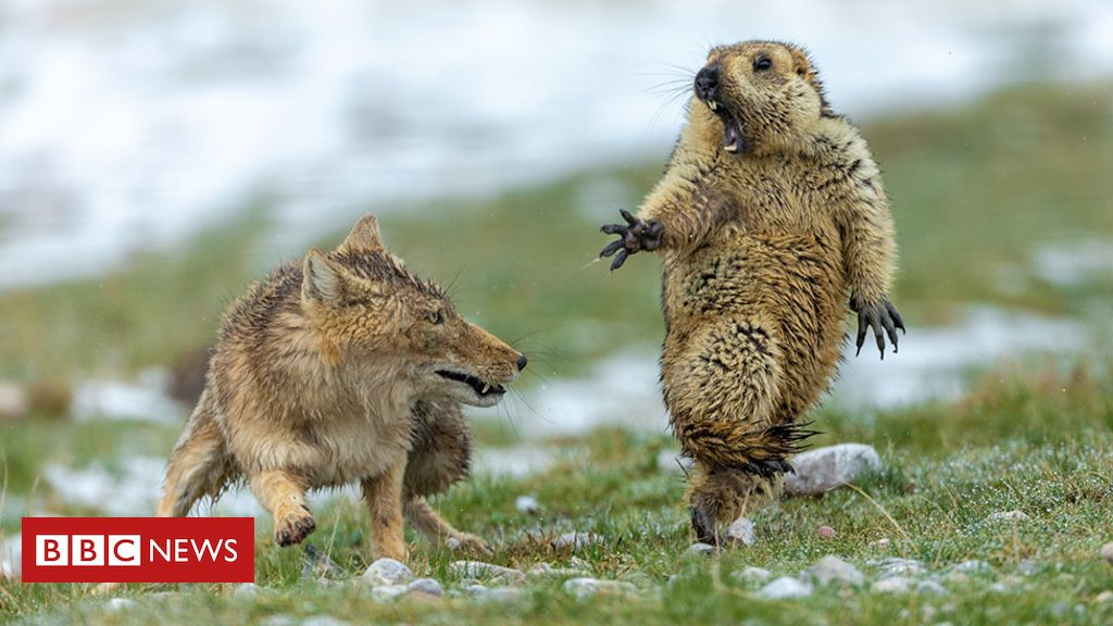 Yikes! Fox and rodent battle is top wildlife photo