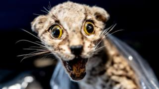 A mounted Margay cat