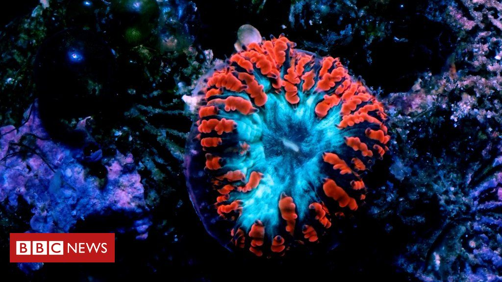 Is 'super coral' the key to saving the world's reefs?