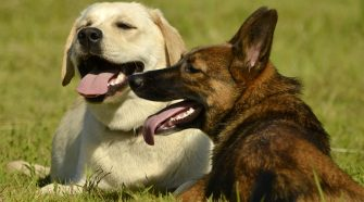 Purdue taking part in life-long study of dogs health and aging