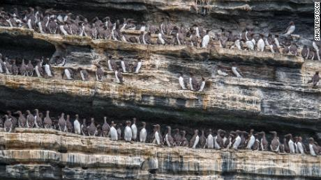 A colony of common murres.