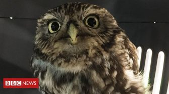Rescued owl was 'too fat to fly', Suffolk sanctuary says