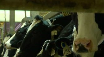 Iowa produces record-breaking 5.4 billion pounds of milk, but people are drinking less
