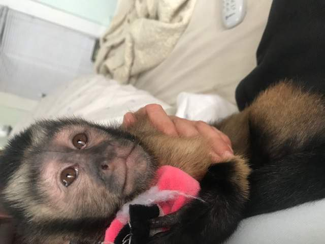Search for missing monkey that escaped during break-in at Galveston home, officials say