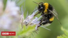 Climate change: Loss of bumblebees driven by 'climate chaos'