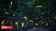 Fireflies face extinction risk - and tourists are partly to blame