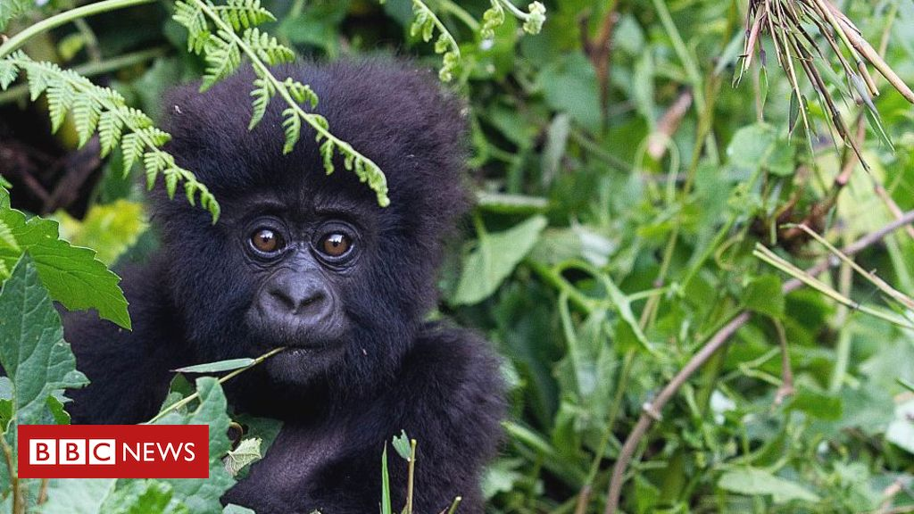 Coronavirus: Calls to protect great apes from threat of infection