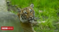 Coronavirus: Tiger at Bronx Zoo tests positive for Covid-19