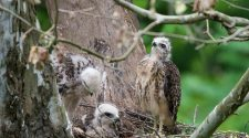 Hawk family gives worried Washingtonians a break from pandemic concerns