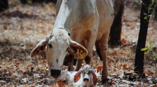 Monitoring technology aids in northern calf-loss study