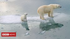 Climate change: Polar bears could be lost by 2100
