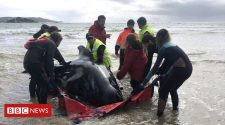 Tasmania pilot whales: Rescuers release 108 surviving animals