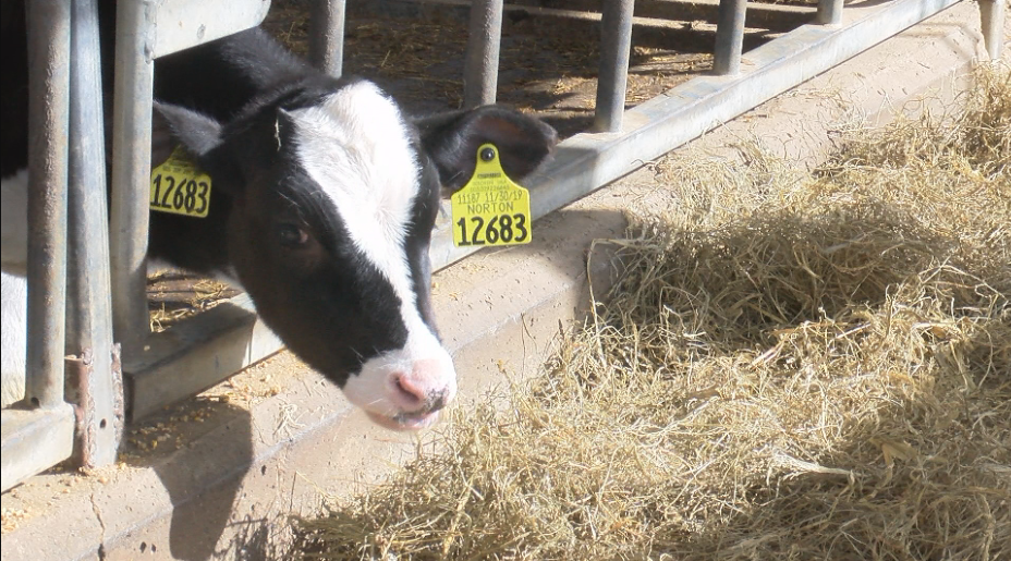 New technology squeezes clean water out of cow manure