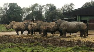 Southern white rhinos, Whipsnade