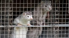 Denmark mink Covid crisis worsens. Here's what it means