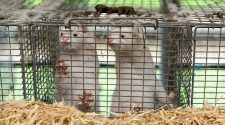 Europe tries to shut down strain from Danish mink farms