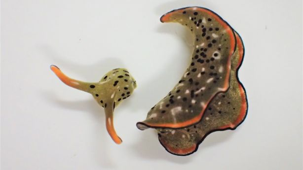 Heads up: Some sea slugs grow new bodies after decapitation
