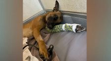 K-9 Officer 'Rex' Recovering After Breaking Leg During Training Exercise – CBS Dallas / Fort Worth